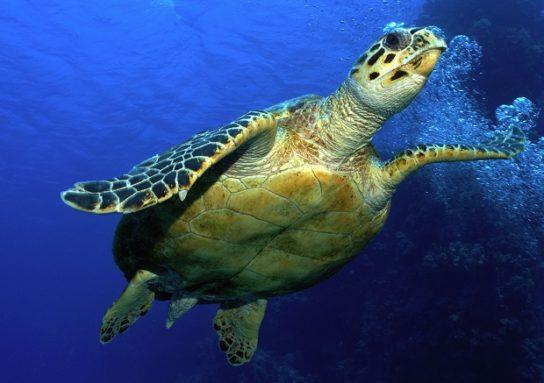 черепаха Бісса6