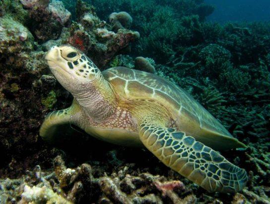 Зелена черепаха4