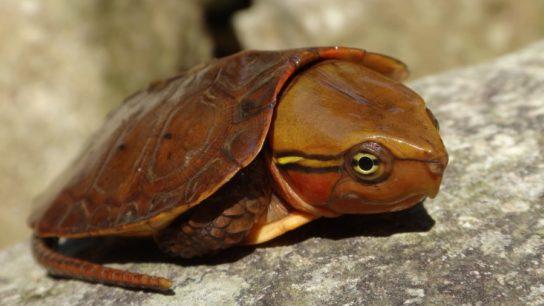 большеголовая черепаха8