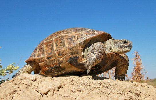 середньоазіатська черепаха0