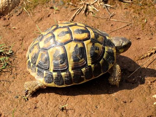 Балканська черепаха13