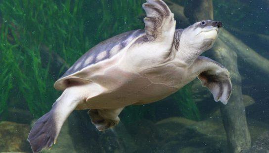 двухкоготная черепаха10