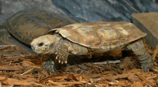еластична черепаха14