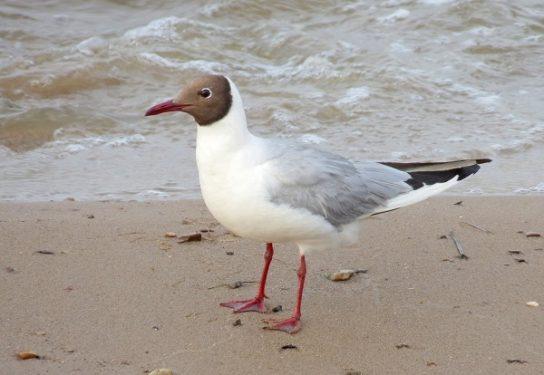 Морські птахи - назви і фото, види сімейства.  Нелітаючі і літаючі морські птіци83