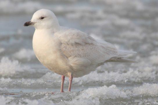 Морські птахи - назви і фото, види сімейства.  Нелітаючі і літаючі морські птіци74