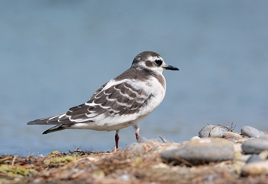 Морські птахи - назви і фото, види сімейства.  Нелітаючі і літаючі морські птіци87