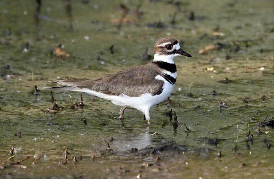 Морські птахи - назви і фото, види сімейства.  Нелітаючі і літаючі морські птіци47