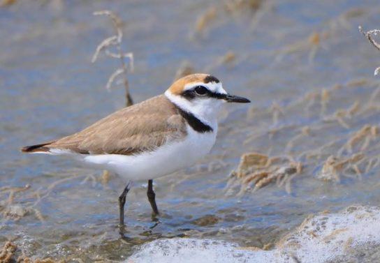 Морські птахи - назви і фото, види сімейства.  Нелітаючі і літаючі морські птіци44