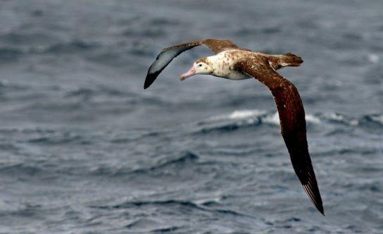 Морські птахи - назви і фото, види сімейства.  Нелітаючі і літаючі морські птіци4