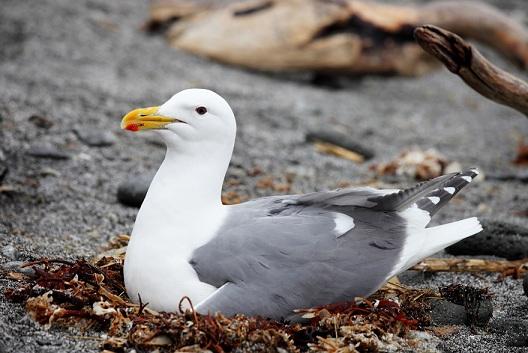 Морські птахи - назви і фото, види сімейства.  Нелітаючі і літаючі морські птіци72