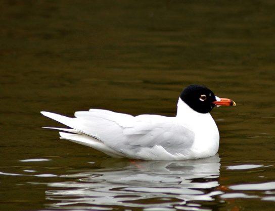 Морські птахи - назви і фото, види сімейства.  Нелітаючі і літаючі морські птіци85