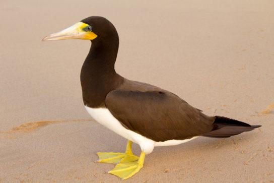 Морські птахи - назви і фото, види сімейства.  Нелітаючі і літаючі морські птіци23