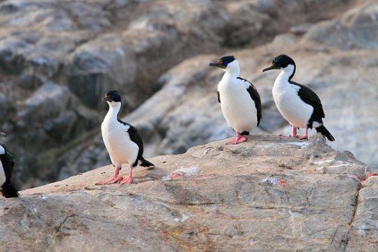 Морські птахи - назви і фото, види сімейства.  Нелітаючі і літаючі морські птіци8