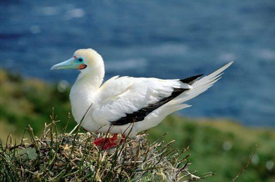 Морські птахи - назви і фото, види сімейства.  Нелітаючі і літаючі морські птіци24