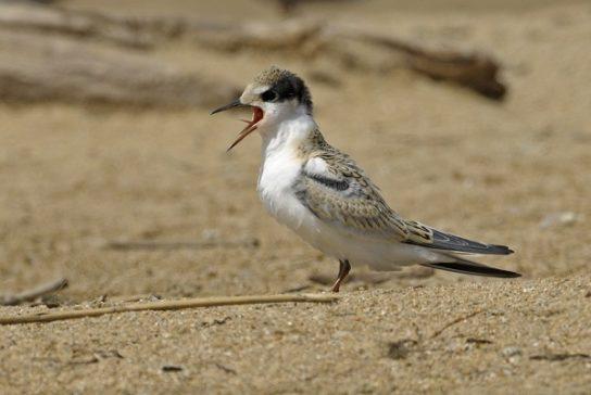 Морські птахи - назви і фото, види сімейства.  Нелітаючі і літаючі морські птіци63