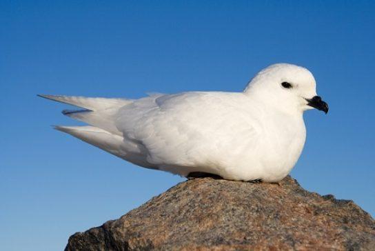 Морські птахи - назви і фото, види сімейства.  Нелітаючі і літаючі морські птіци32