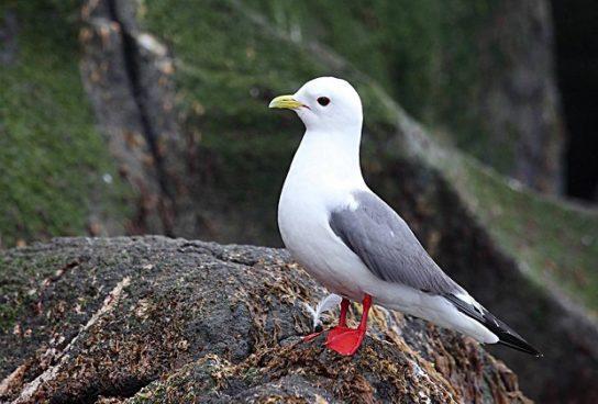 Морські птахи - назви і фото, види сімейства.  Нелітаючі і літаючі морські птіци82
