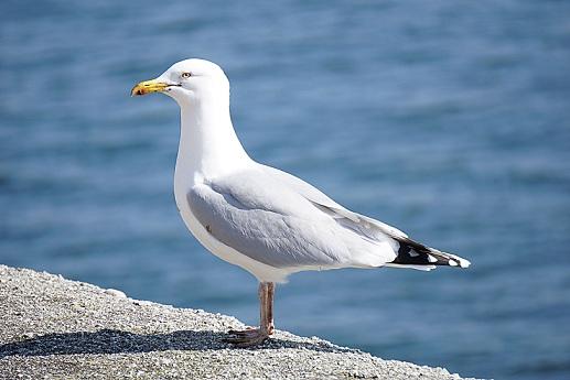 Морські птахи - назви і фото, види сімейства.  Нелітаючі і літаючі морські птіци70