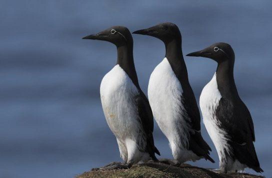 Морські птахи - назви і фото, види сімейства.  Нелітаючі і літаючі морські птіци41