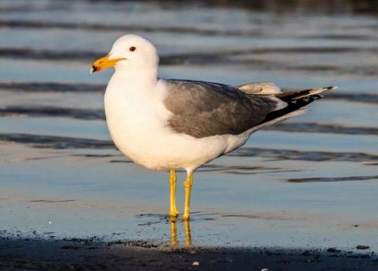 Морські птахи - назви і фото, види сімейства.  Нелітаючі і літаючі морські птіци69