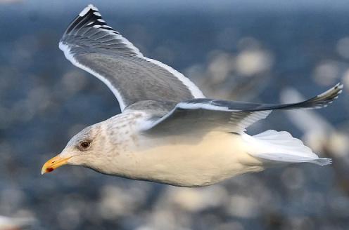 Морські птахи - назви і фото, види сімейства.  Нелітаючі і літаючі морські птіци75