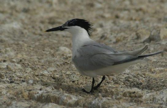 Морські птахи - назви і фото, види сімейства.  Нелітаючі і літаючі морські птіци64