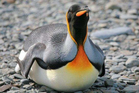 Морські птахи - назви і фото, види сімейства.  Нелітаючі і літаючі морські птіци54