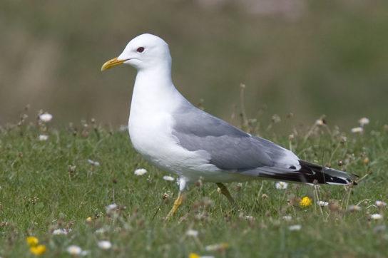 Морські птахи - назви і фото, види сімейства.  Нелітаючі і літаючі морські птіци67