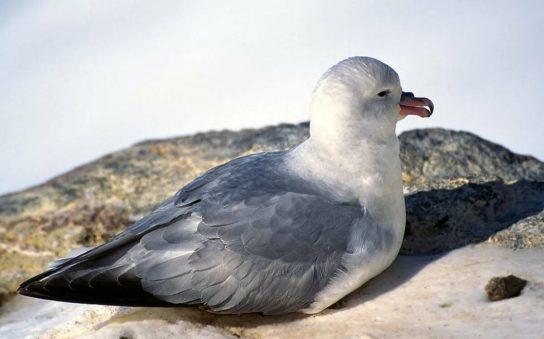 Морські птахи - назви і фото, види сімейства.  Нелітаючі і літаючі морські птіци30