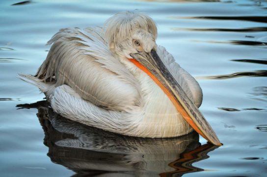 Морські птахи - назви і фото, види сімейства.  Нелітаючі і літаючі морські птіци97