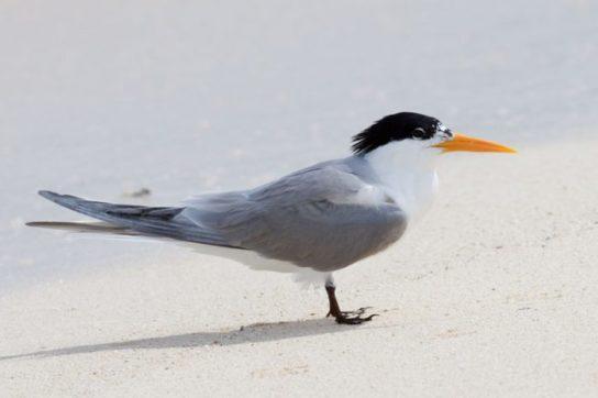 Морські птахи - назви і фото, види сімейства.  Нелітаючі і літаючі морські птіци65