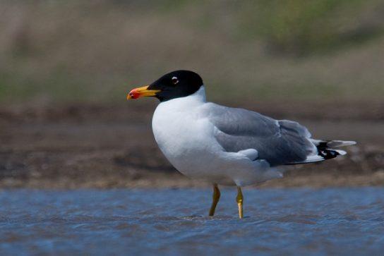 Морські птахи - назви і фото, види сімейства.  Нелітаючі і літаючі морські птіци79