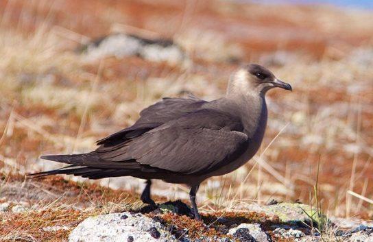 Морські птахи - назви і фото, види сімейства.  Нелітаючі і літаючі морські птіци89