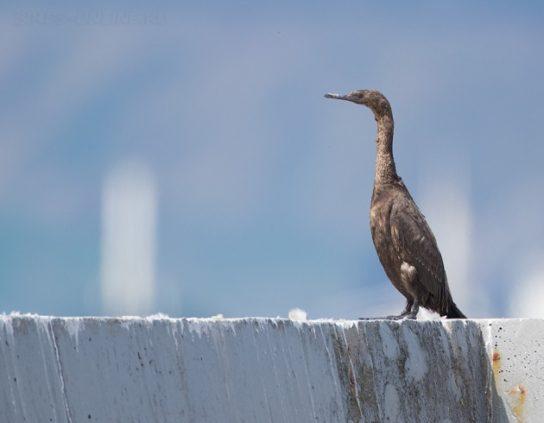 Морські птахи - назви і фото, види сімейства.  Нелітаючі і літаючі морські птіци11