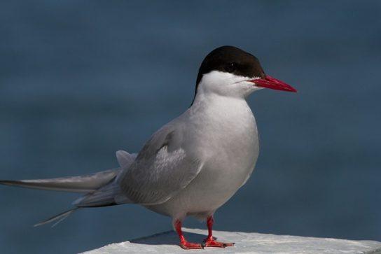 Морські птахи - назви і фото, види сімейства.  Нелітаючі і літаючі морські птіци62