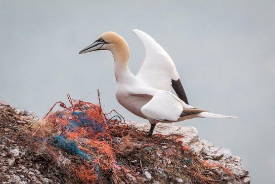 Морські птахи - назви і фото, види сімейства.  Нелітаючі і літаючі морські птіци27