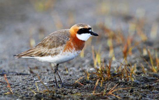 Морські птахи - назви і фото, види сімейства.  Нелітаючі і літаючі морські птіци51