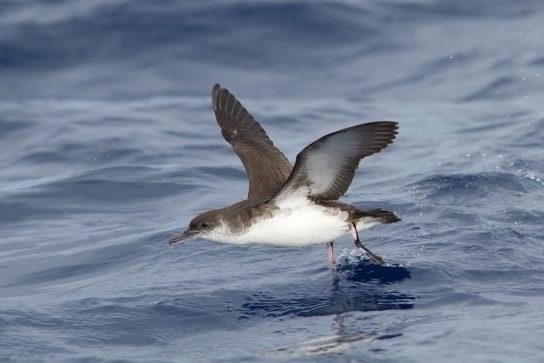 Морські птахи - назви і фото, види сімейства.  Нелітаючі і літаючі морські птіци34