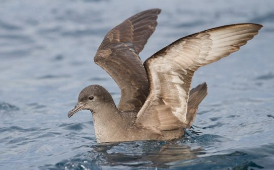 Морські птахи - назви і фото, види сімейства.  Нелітаючі і літаючі морські птіци35