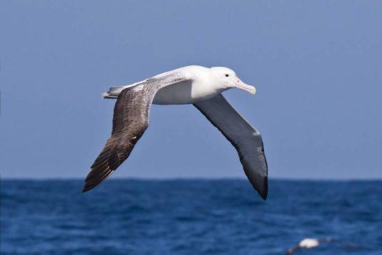 Морські птахи - назви і фото, види сімейства.  Нелітаючі і літаючі морські птіци5