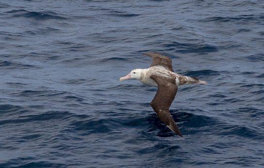 Морські птахи - назви і фото, види сімейства.  Нелітаючі і літаючі морські птіци7