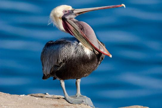 Морські птахи - назви і фото, види сімейства.  Нелітаючі і літаючі морські птіци98