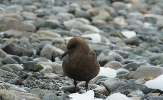 Морські птахи - назви і фото, види сімейства.  Нелітаючі і літаючі морські птіци92