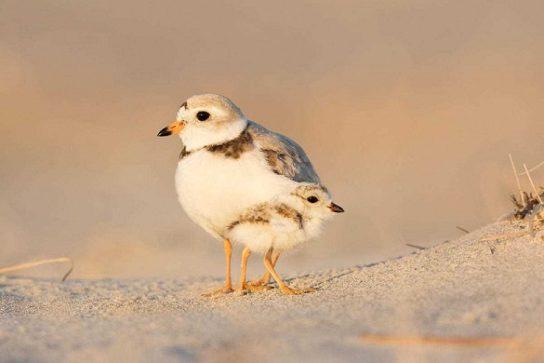 Морські птахи - назви і фото, види сімейства.  Нелітаючі і літаючі морські птіци48