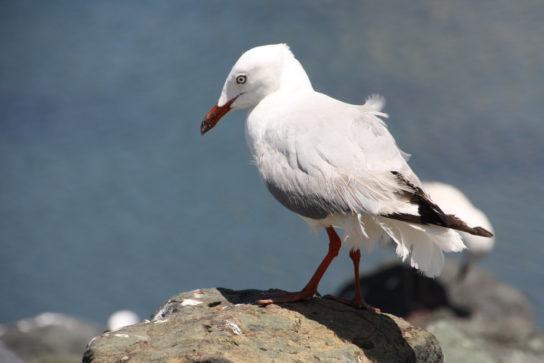 Морські птахи - назви і фото, види сімейства.  Нелітаючі і літаючі морські птіци81