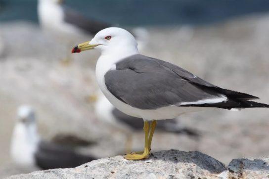 Морські птахи - назви і фото, види сімейства.  Нелітаючі і літаючі морські птіци66