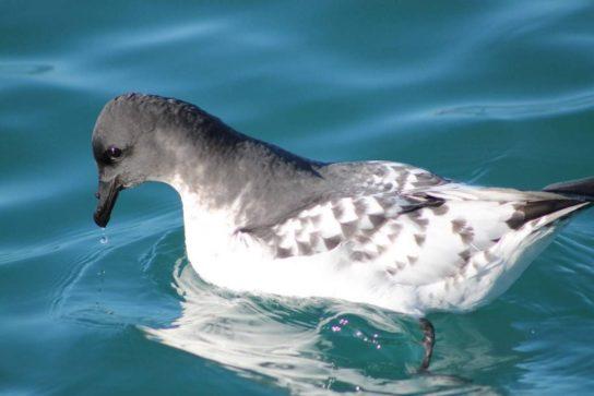 Морські птахи - назви і фото, види сімейства.  Нелітаючі і літаючі морські птіци31