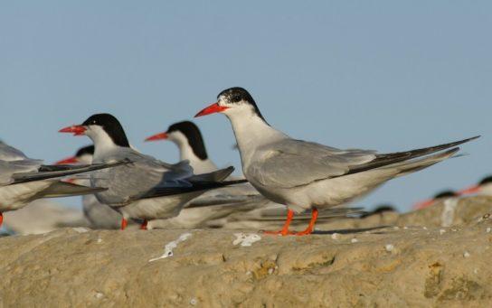 Морські птахи - назви і фото, види сімейства.  Нелітаючі і літаючі морські птіци61