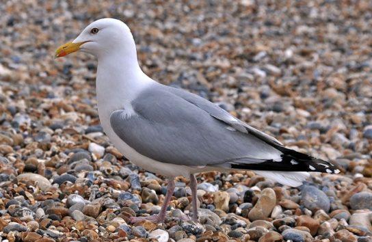 Морські птахи - назви і фото, види сімейства.  Нелітаючі і літаючі морські птіци78