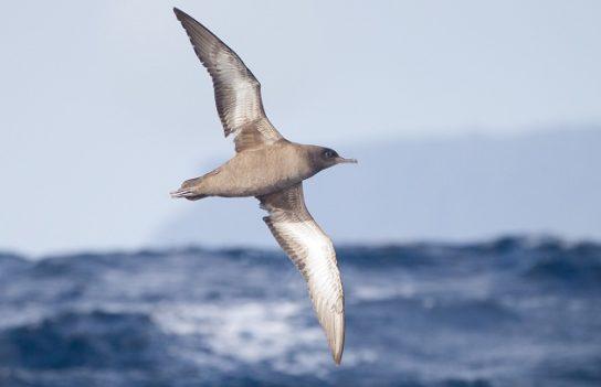 Морські птахи - назви і фото, види сімейства.  Нелітаючі і літаючі морські птіци37
